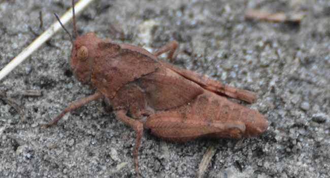 Crickets, grasshoppers, songs and heatwaves